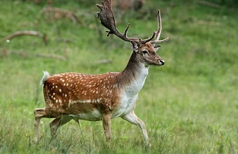 Fallow-Deer: Start of New Population