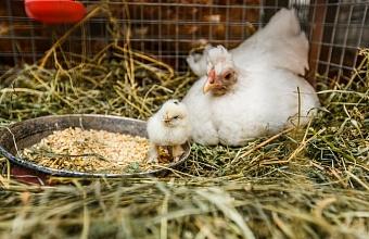 Кубань – в пятерке лидеров России по экспорту мяса птицы в Китай