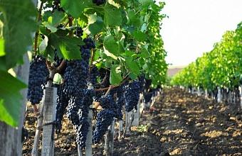 На Кубани до конца года высадят 1,7 тыс. га молодых виноградников