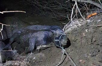 Спасатели Гулькевичского района достали из оврага беременную кобылу