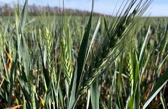 Замглавы Кубани обсудил с аграриями состояние посевов