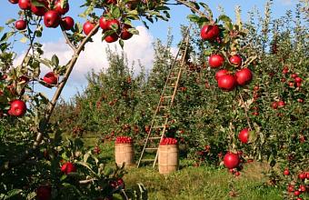 Процедуру страхования урожая садов на Кубани планируют упростить