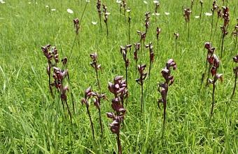 Поляну с редкими краснокнижными орхидеями обнаружили в Сочи