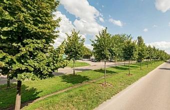 Деревья с ул. Московской в Краснодаре пересадят осенью