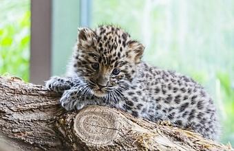В Сочи в Центре восстановления леопардов родился котенок