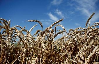 На Кубани собрали свыше 6,3 млн тонн зерновых культур