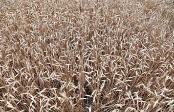 На Кубани собрали свыше 7,7 млн тонн зерна