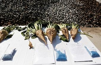 Сахарную свеклу на Кубани уберут с площади более 170 тыс. га