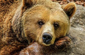 В Сочи в лесу умер вышедший к посту ДПС медведь