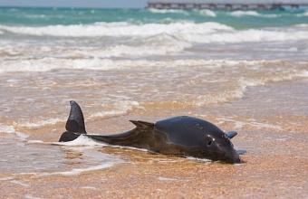 Росприроднадзор назвал причины гибели дельфинов в Черном море