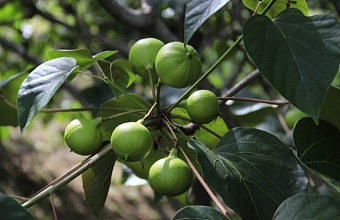В сочинском Дендрарии созрели ядовитые плоды дерева Тунг Форда