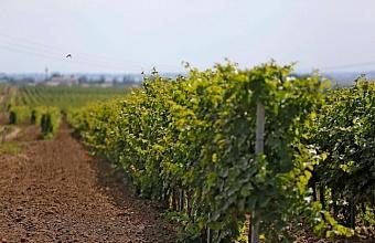 На развитие виноградарства на Кубани направили свыше 2,3 млрд рублей за пять лет
