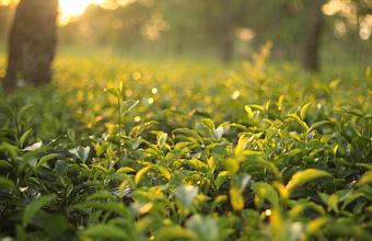 Парламентарии Кубани обсудили развитие чаеводства в регионе
