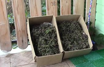 Жителю Кубани грозит до 10 лет тюрьмы за хранение более 1 кг конопли