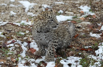 В Сочи выбрали имя котенку леопарда