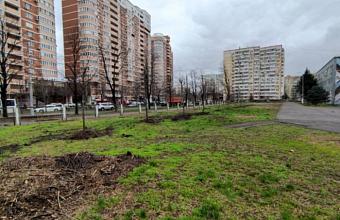 Все липы с ул. Московской в Краснодаре пережили пересадку