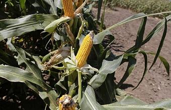 На Кубани планируют засеять около 470 тыс. гектаров кукурузой