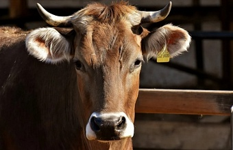 Депутаты ЗСК обсудили развитие животноводства на Кубани