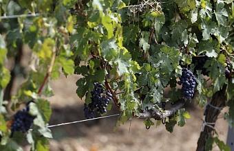 В 2021 г. на Кубани заложат 1700 гектаров плантаций виноградников