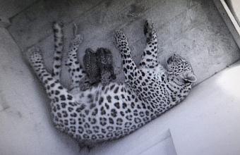 В сочинском центре восстановления леопарда родились два котенка