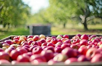 Аграрии Кубани предложили ограничить импорт яблок в период сбора урожая