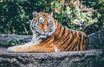 В зоопарке Крыма тигр откусил палец годовалому ребенку из Краснодара
