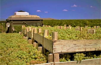 На Кубани в этом году собрали 180 тыс. тонн винограда